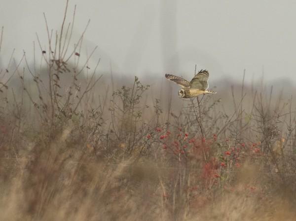 Owl in Woodlands