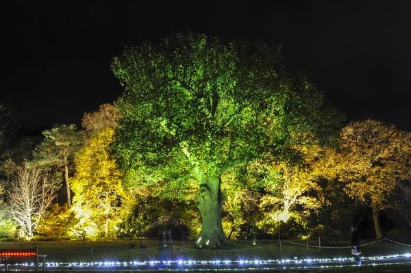 Rosemore Glow tree
