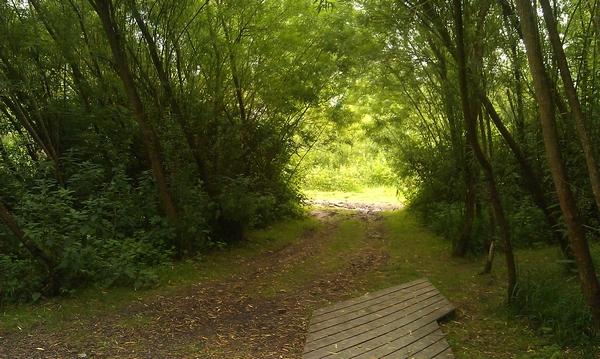 Acorus, pathway through forest