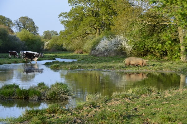 Knepp Estate pond, with a pig and some cows