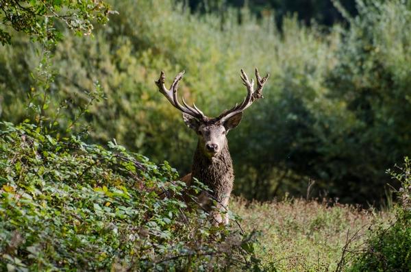Deer hiding behind a bush