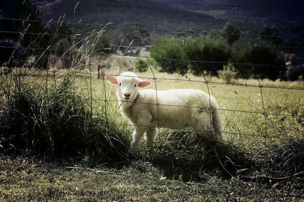 Baby lamb behind a fence