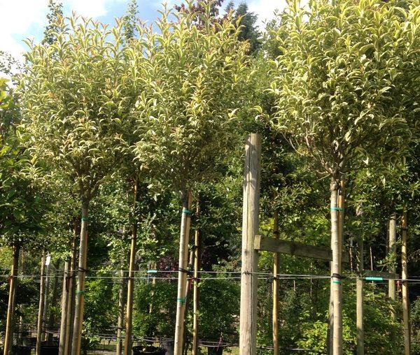 Green Mile Trees nursery