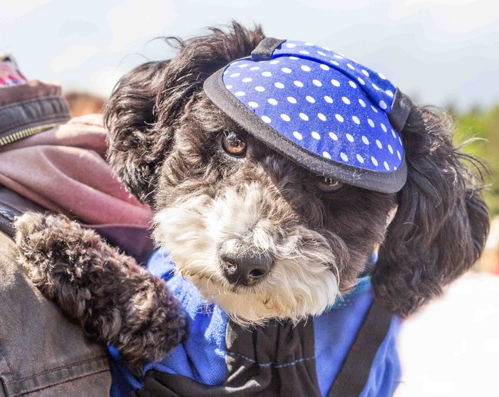Dog wearing hat at Dogfest