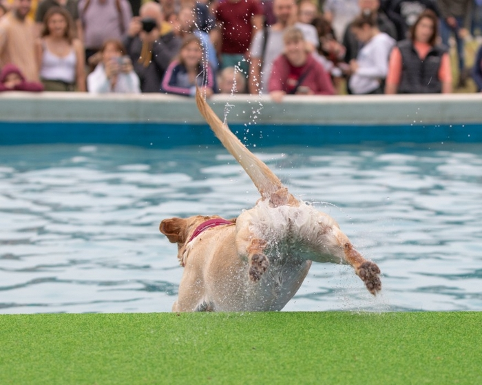Dog jumping into pool at Dogfest