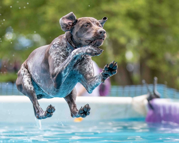 Dog jumping into water at Dogfest