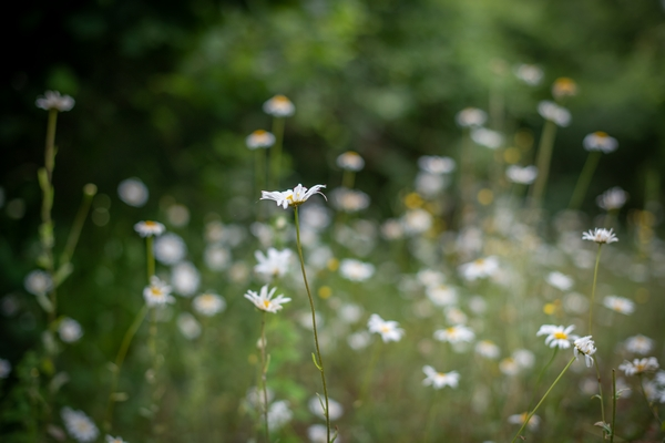 Picture of wild daisies in a field