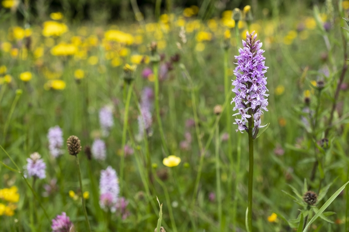 Meadow under conservation of PlantLife