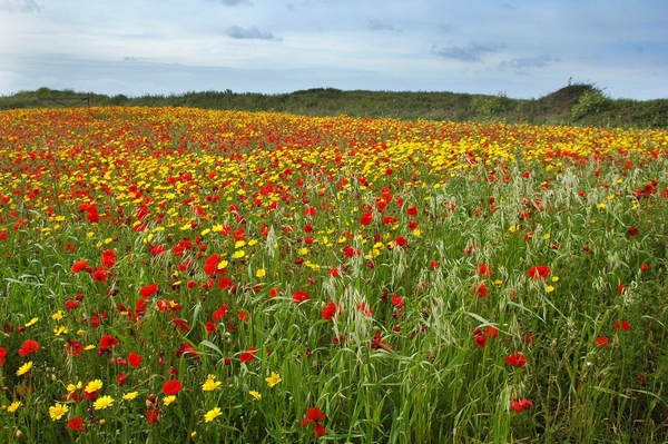 Red meadow of flowers