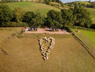 Aerial shot of sheep arranging themselves into a heart