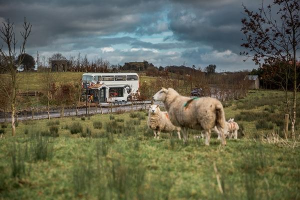 Sheep at Mount Druid