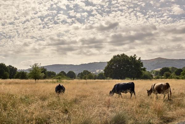 Swallowfield Glamping Retreat cows